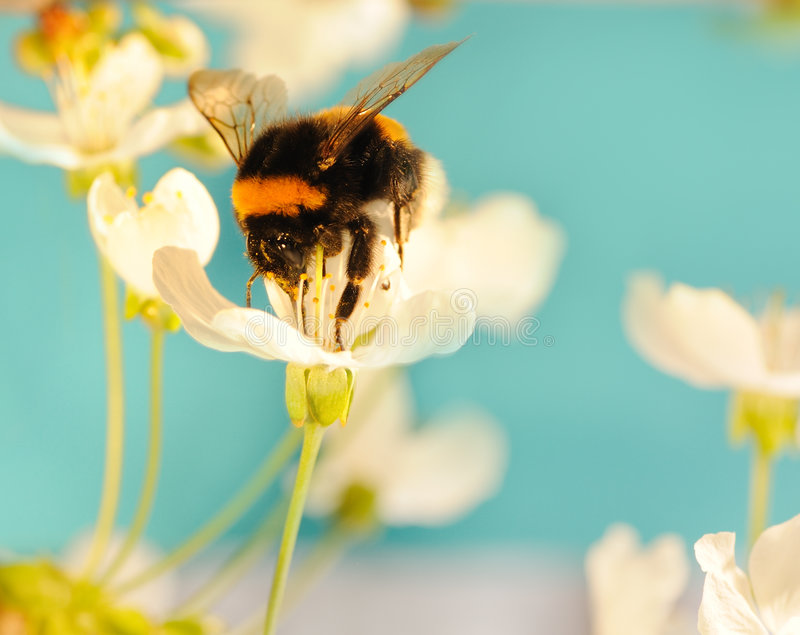 Bumble bee on a flower royalty free stock photography