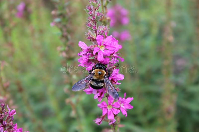 Bumble bee on flower. Bumble bee eating nectar of flower stock photography