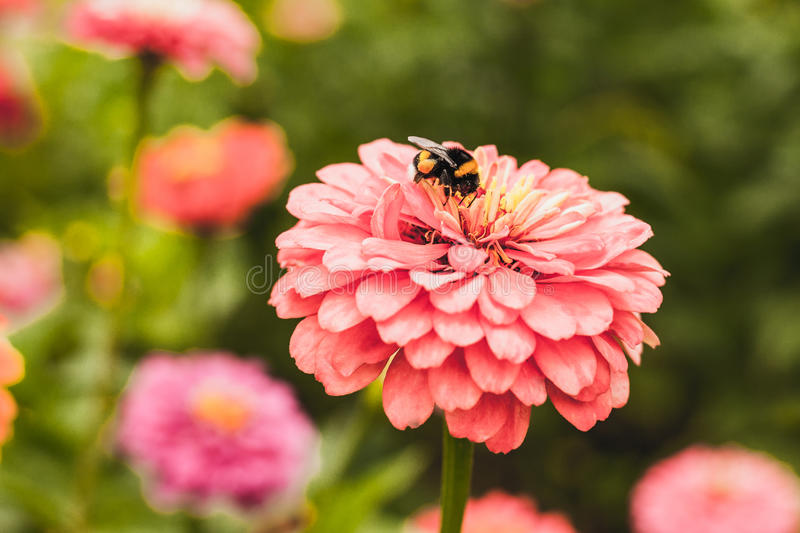 Bumble bee on flower. And pollinate stock photos