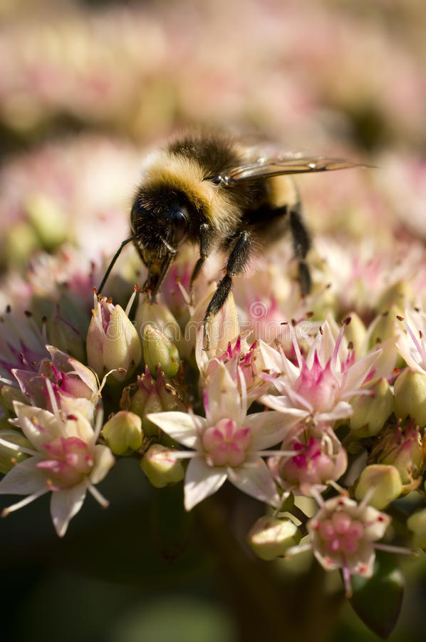 Bumble Bee on Flowers royalty free stock photos