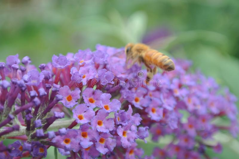 Bumble Bee on flowers of butterfly bush. This bumble bee is collecting nectar from the flowers on a butterfly bush stock images