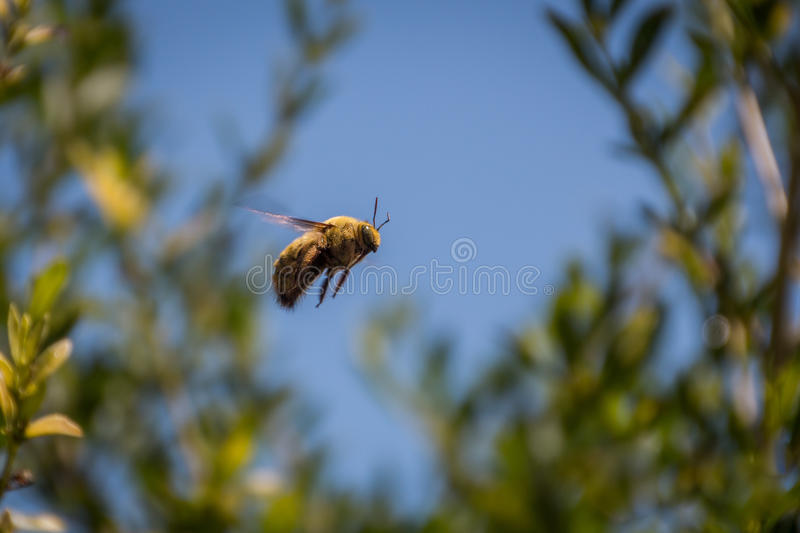 Bumble bee flying in the air royalty free stock images