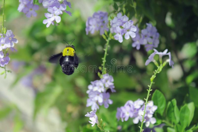 Bumble bee is flying royalty free stock photo
