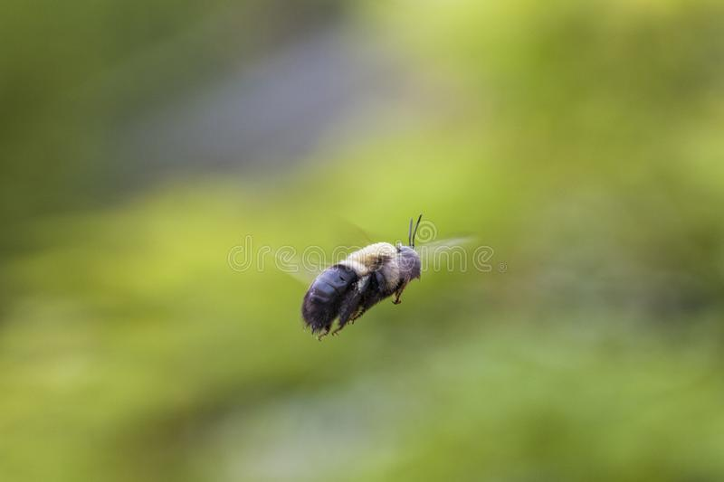 Bumble Bee Flying Mid-air on Green Background stock photos