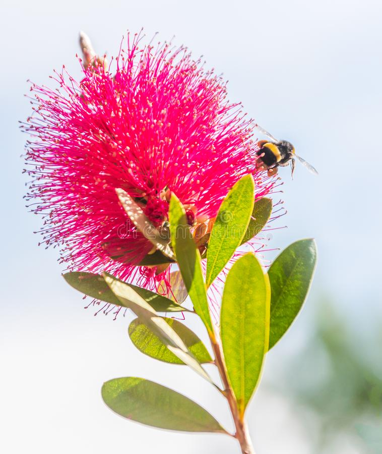 Bumble bee flying near to a red bottle brush plant flower royalty free stock photos