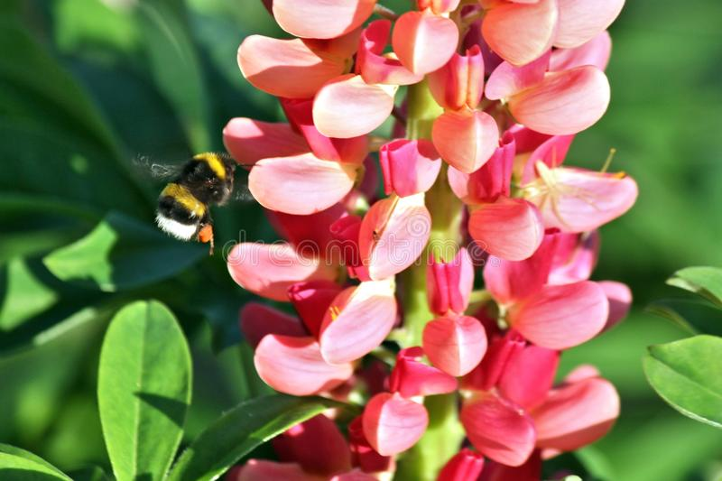 Bumble bee flying to flower. Selective focus on insect. stock image