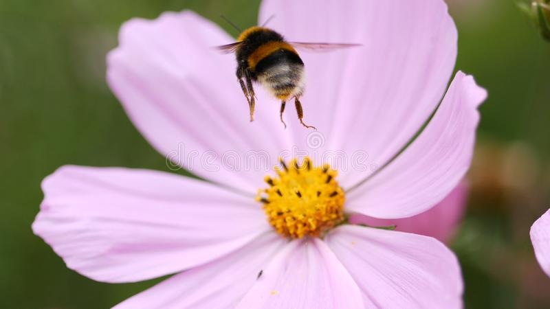 Bumble bee flying to a pink flower to collect pollen. royalty free stock images