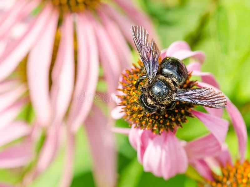 Download Bumble Bee Gathering Polen stock photo. Image of honey - 32342290