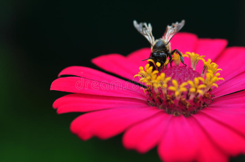 Bumble Bee Gathering Polen From Zinnia. Elegans Flower royalty free stock images