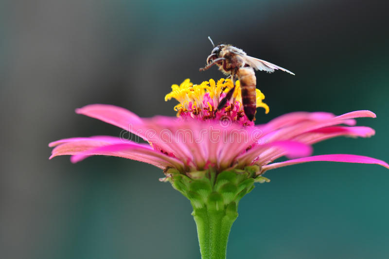 Bumble Bee Gathering Polen From Zinnia. Elegans Flower stock photos