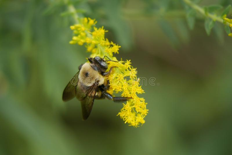 Bumble Bee Gathers Pollen On Yellow Flowers royalty free stock photos