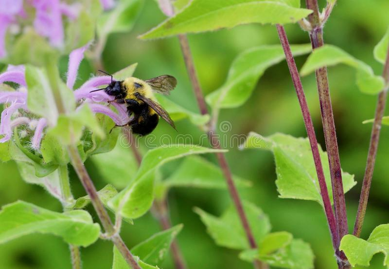 Bumble Bee Harvesting. Bumble bee drinks of the purple flower nectar royalty free stock photos
