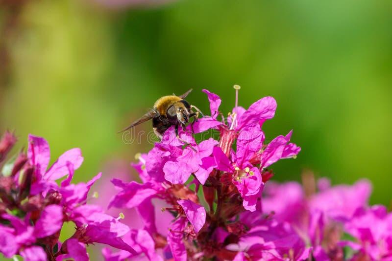 Bumble Bee Hover Fly (Volucella bombylans), au Royaume-Uni images libres de droits
