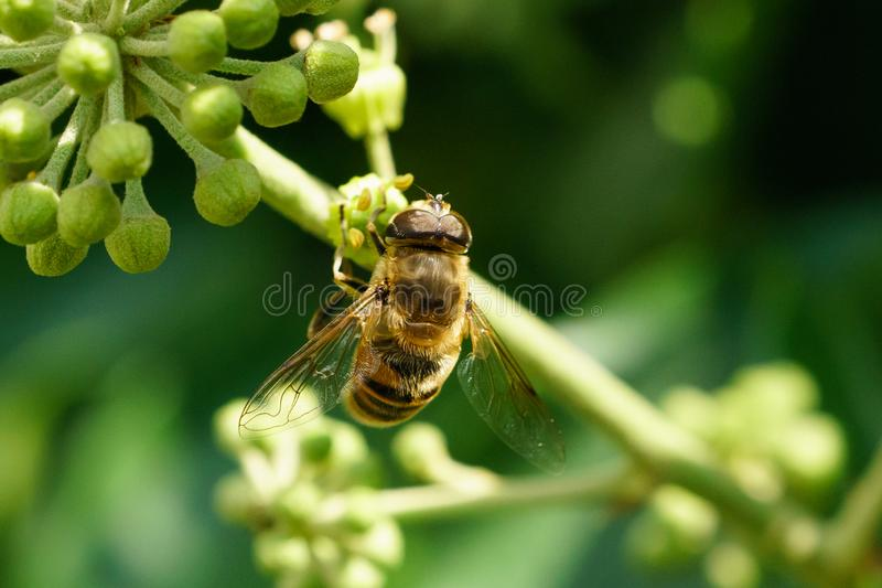 Bumble Bee Hover Fly (Volucella bombylans), au Royaume-Uni images stock