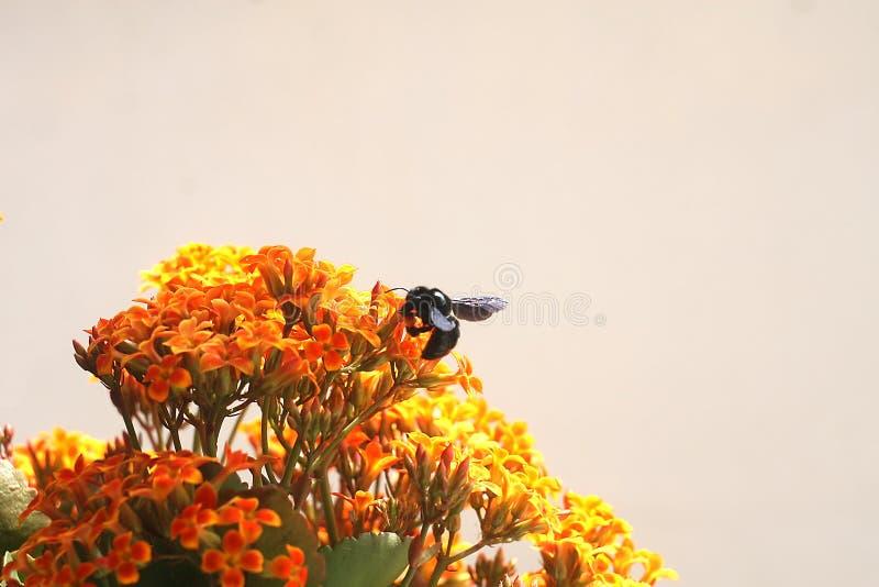 Bumble Bee on Kalanchoe Flower Orange Yellow. Isolated background royalty free stock photo