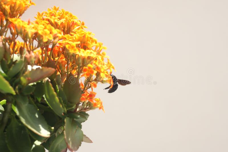Bumble Bee on Kalanchoe Flower Orange Yellow. In the garden stock image