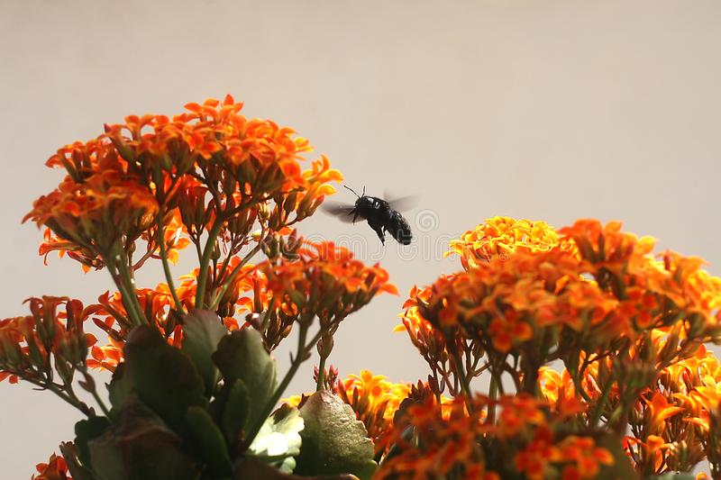 Bumble Bee on Kalanchoe Flower Orange Yellow. In the garden royalty free stock photography