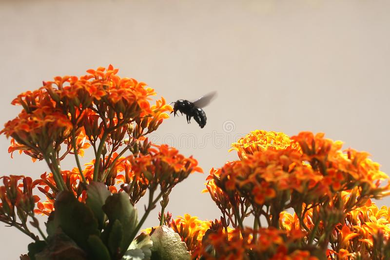 Bumble Bee on Kalanchoe Flower Orange Yellow. In the garden stock images