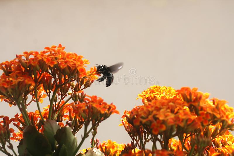 Bumble Bee on Kalanchoe Flower Orange Yellow. In the garden royalty free stock image