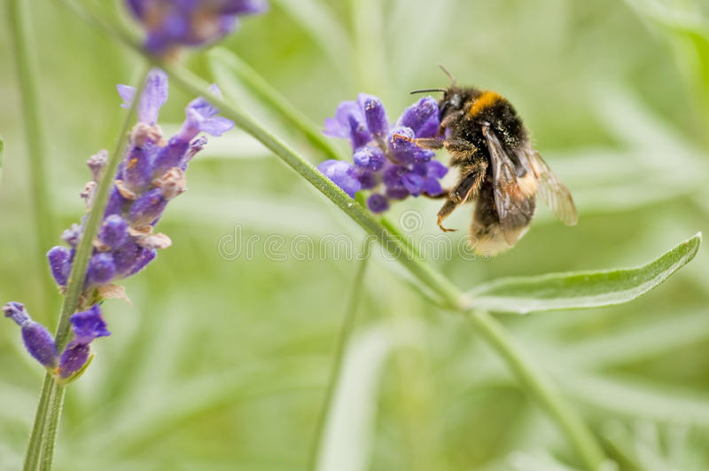 Download Bumble-bee on lavender stock image. Image of hairs, blossom - 25747681