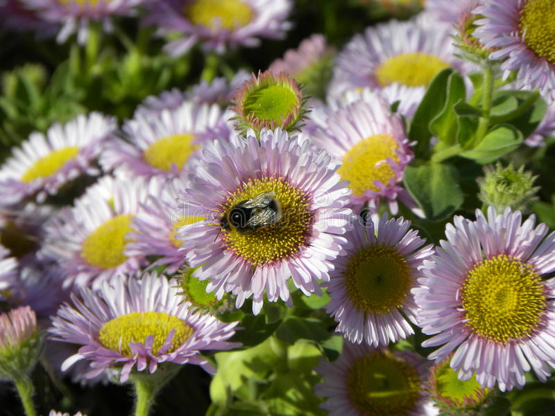 Bumble Bee on lovely daisys stock photos