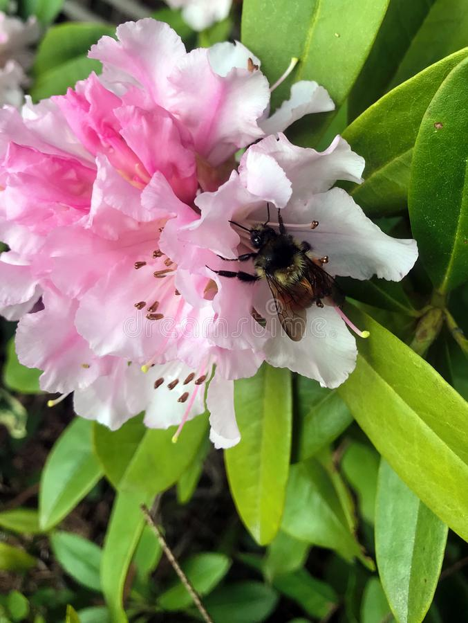Bumble Bee Nestled in Beautiful pink rhododendron stock image