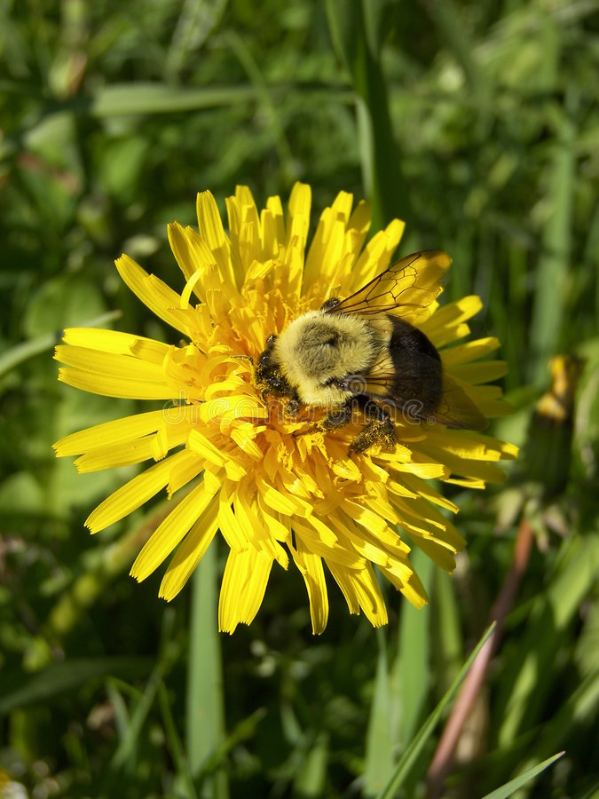 Free Bumble Bee On Dandelion Royalty Free Stock Photos - 754778