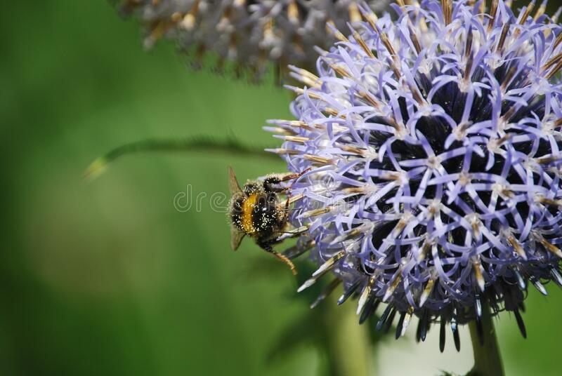 Bumble Bee On Onion Flower Free Public Domain Cc0 Image