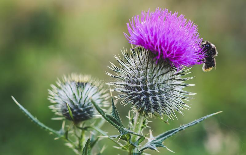 Bumble Bee on a Thistle flower stock photography