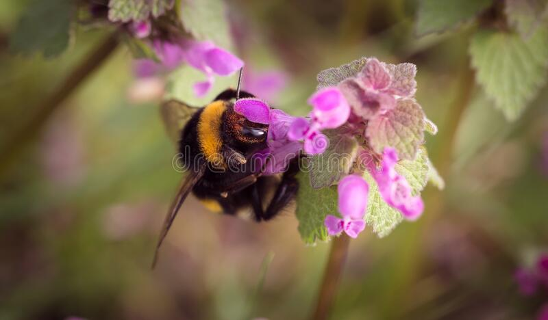 Bumble Bee On Pink Floower Free Public Domain Cc0 Image