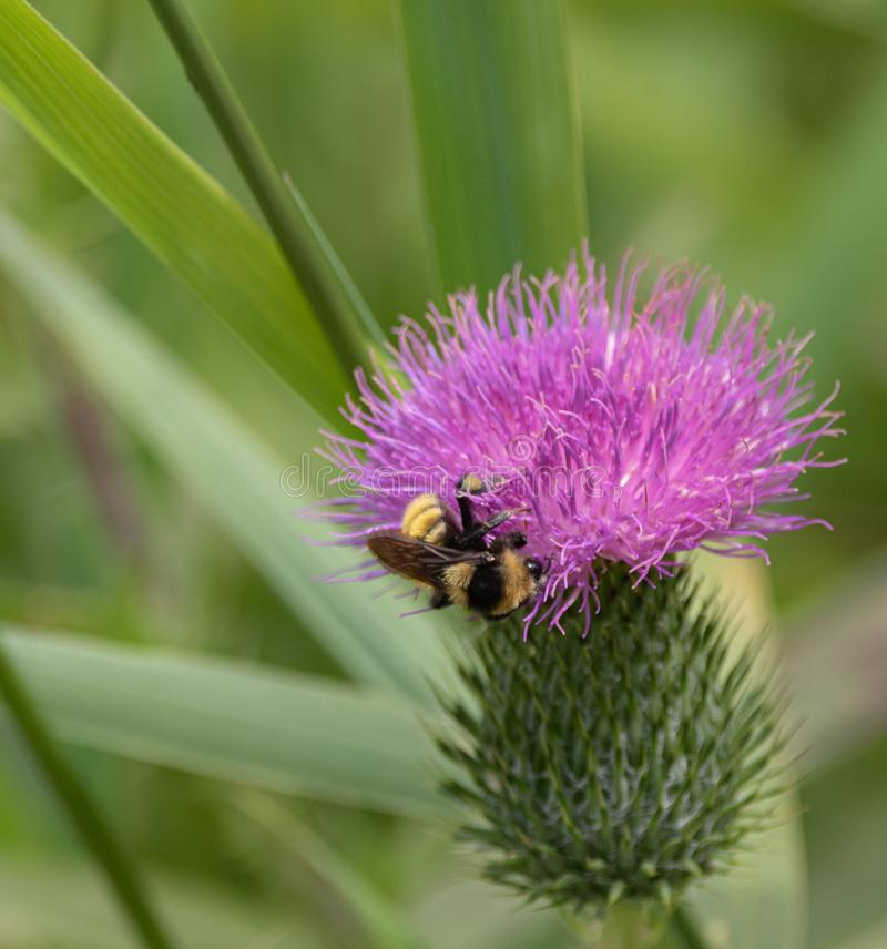 Bumble bee up close on pink thistle plant royalty free stock images