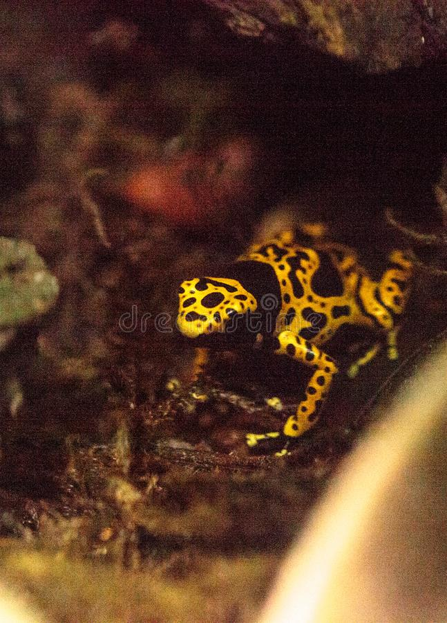 Bumble bee poison dart frog Dendrobates leucomelas stock photo