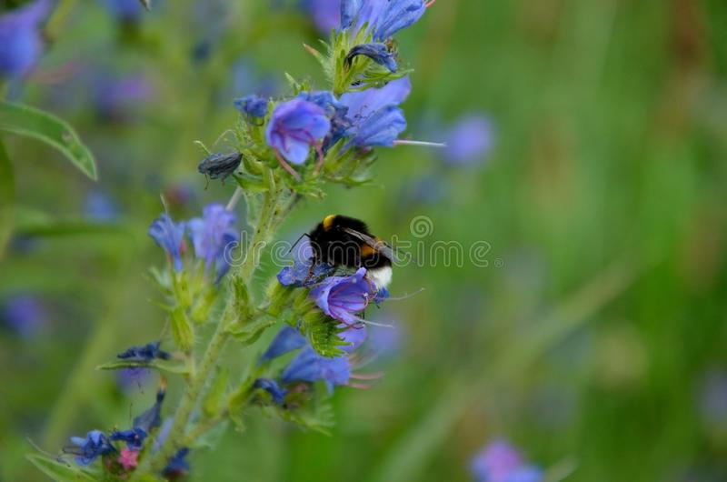 Download Bumble Bee Pollinate Stock Photo - Image: 42716841