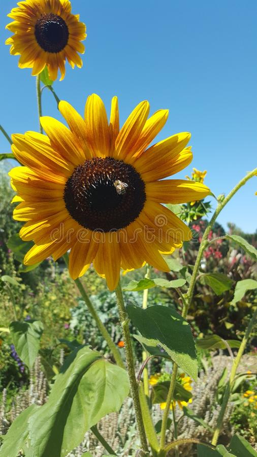 A Bumble Bee Pollinates the Sunflower Fields royalty free stock image