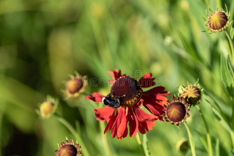 Bumble bee pollinating an orange cone flower on a sunny day in the garden stock photos