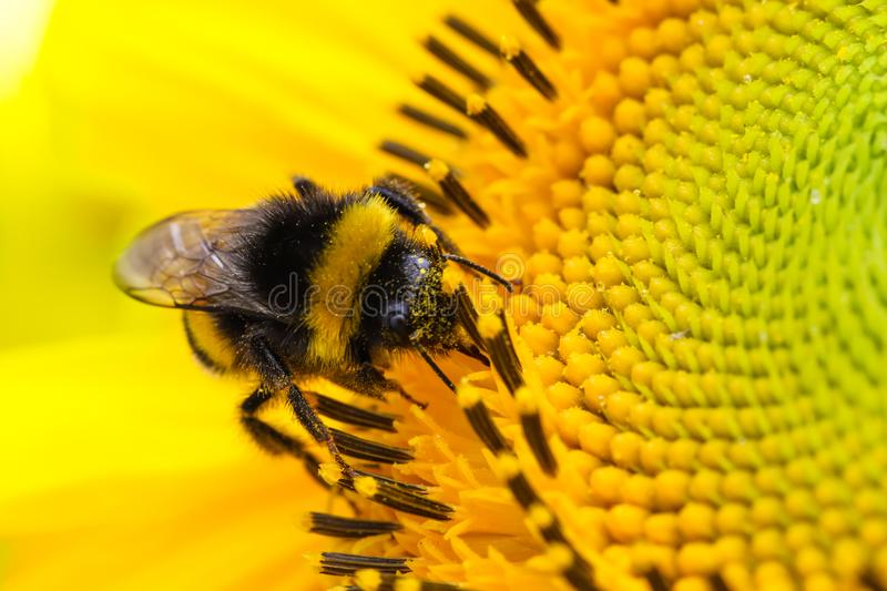 Bee and flower. Bumble bee pollinator collecting pollen of yellow fresh sunflower during Spring and Summer close up macro. Bumble bee pollinator collecting stock photos