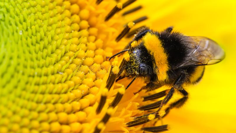 Bee and flower. Honey bee pollinator collecting pollen on the disc surface of a yellow fresh sunflower water drops Spring Summer. Bumble bee pollinator royalty free stock photos