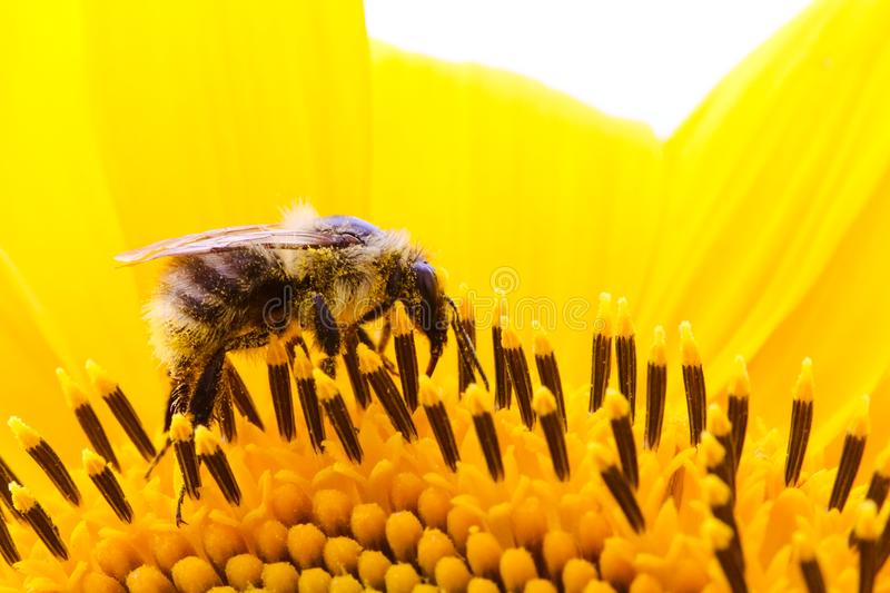 Bumble bee pollinator collecting pollen on the surface of a yellow fresh sunflower. During Spring and Summer close up macro photo royalty free stock photo