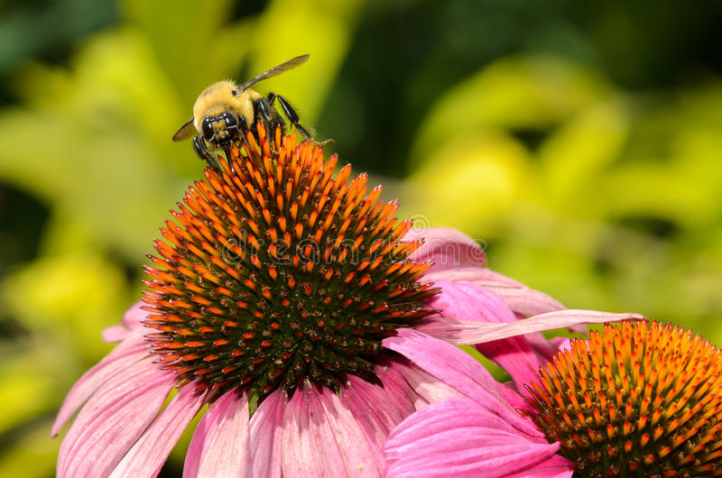 Bumble Bee on a Purple Coneflower stock photo