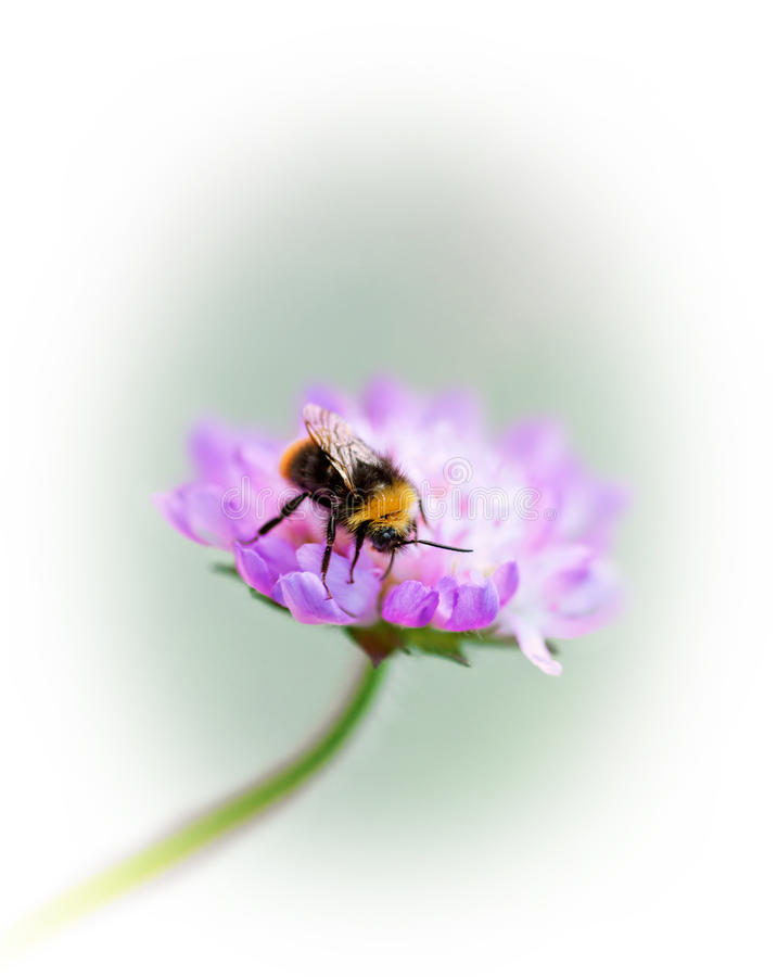 Bumble bee on purple flower royalty free stock photography