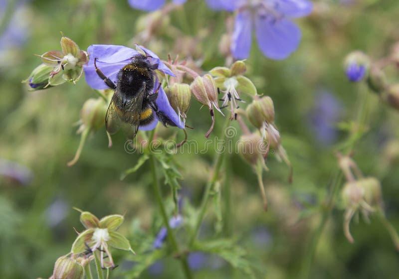 Bumble bee on purple/lilac geranium royalty free stock image