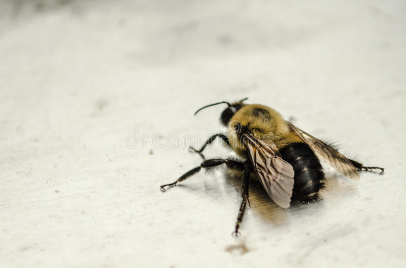 Bumble Bee on steel. Close up of bumble bee on stainless steel stock image