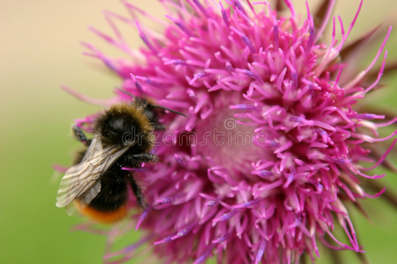 Download Bumble Bee & Thistle stock photo. Image of wings, hive, bumble - 17652