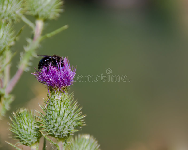 Download Bumble bee on thistle stock photo. Image of details, blooming - 3300548