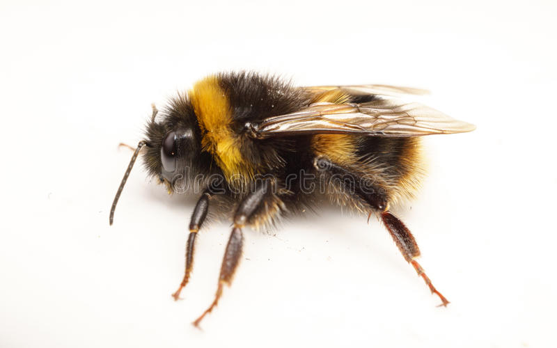 Fuzzy Black Background : A bumble bee on white background stock photo image