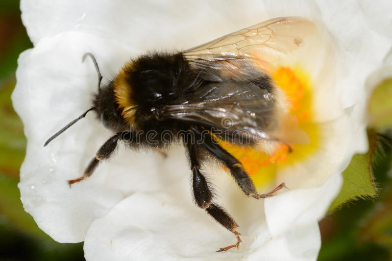 Bumble bee on white flower royalty free stock photos