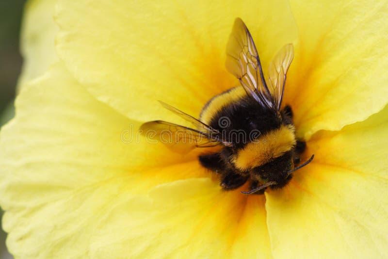 Bumble bee on yellow stock photos
