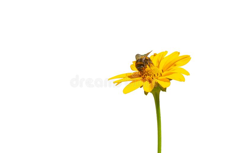 Bumble bee on yellow flower daisy isolated. Bumble bee coolecting nectar on yellow flower daisy on white background isolated stock image