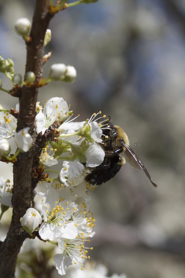 Bumble Bee on Yoshino Cherry Blossoms stock photography