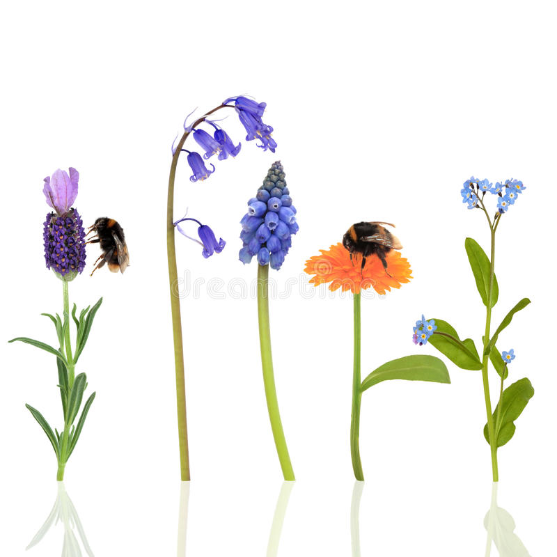 Bumble Bees and Flowers. Bumble bees on marigold and lavender flowers with a bluebell, forget me not and grape hyacinth, over white background vector illustration